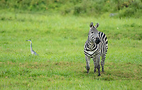 Grant's Zebra, Equus quagga boehmi, and Black-headed Heron, Ardea melanocephala, in Arusha National Park, Tanzania
