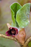 Gewöhnliche Haselwurz, Asarum europaeum, Asarabacca, European Wild Ginger, Haselwort, Wild Spikenard