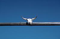 Steer skull, Montana