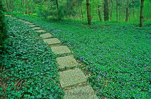 pathway through groundcover, vina rosa, ivy, violets, around garden, in spring