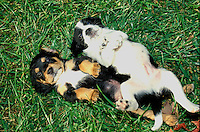 Two very silly puppies ready for belly rubs wait lying in the grass with funny facial expressions