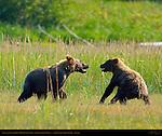 Alaskan Coastal Brown Bear Cubs Playing, Silver Salmon Creek, Lake Clark National Park, Alaska