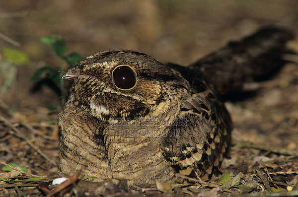 Common Pauraque, Nyctidromus albicollis,adult at night on nest, Cameron County, Rio Grande Valley, Texas, USA