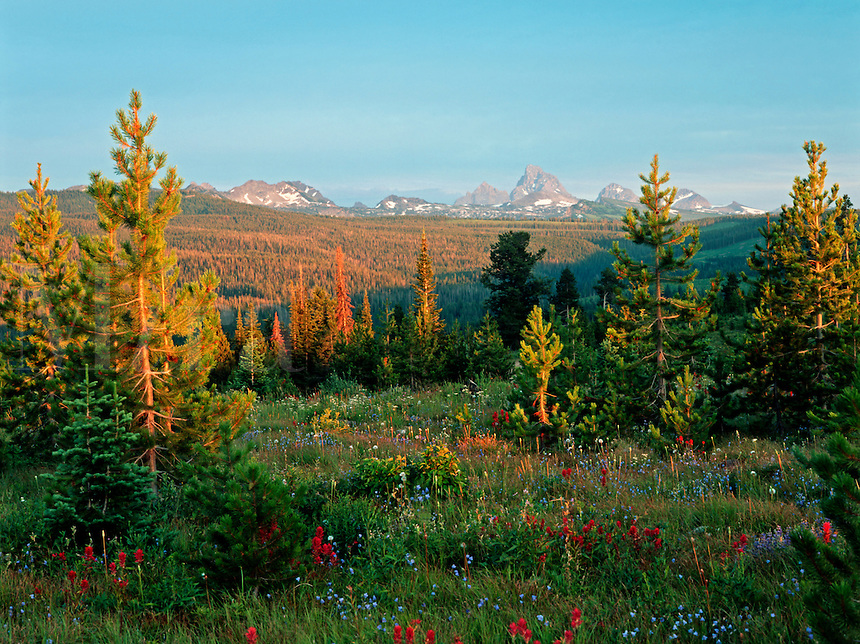 A colorful patch of wildflowers among pine and fir are accented by the Grand Teton in the background