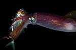Reef squid catching fish, Sepioteuthis sepioidea, Black Water; Gulf Stream Current off SE Florida; Plankton; larval fish; pelagic larval marine life; plankton creatures, marine behavior, squid behavior