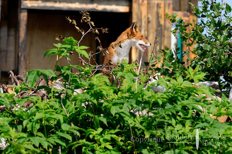 A red fox surveys its domain from atop a wood pile in Alaska's McNeil River State Game Sanctuary.