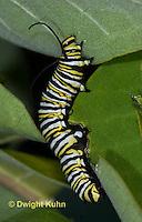 MO02-541z  Monarch Caterpillar on Milkweed - Danaus plexipuss