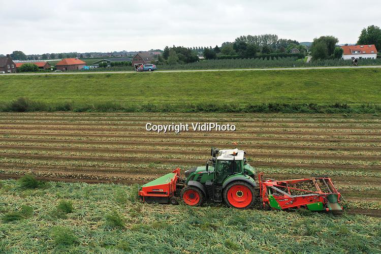 """Foto: VidiPhoto<br /> <br /> DRIEL – Fietsers op de Rijndijk bij Driel ruiken wat er in de uiterwaarden geoogst wordt: uien. Daar wordt dinsag het eerste deel van de 9 ha uien van akkerbouwer Knuiman uit Elst geoogst door collega Bert Wal uit Leur. Zelf heeft Wal 50 ha. uien, maar steekt met zijn machinerie bij collega-akkerbouwers de helpende hand toe. De uien van Knuiman gaan voorlopig in de opslag, doordat de uienprijs op dit enorm enorm laag is. Volgens Bert Wal wordt dat veroorzaakt door het enorm aanbod op dit moment. Veel akkerbouwers hebben namelijk geen opslagcapaciteit en moeten de uien direct aanbieden aan de hand. Bovendien valt de opbrengst tegen alle verwachtingen in, enorm mee. Bovendien wordt er geoogst tijdens droog weer, in tegenstelling tot vorig jaar. """"Toen zat alles onder de blubber."""""""