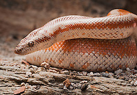 Rosy Boa - Lichanura trivirgata -  A specimen from a locality deep in the desert where the boas are known for their stunning colors and for being very difficult to find.  Found within stones throw of an abandoned rock shack.
