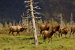 A bull elk pursues the females, cows, during the rut in Montana.