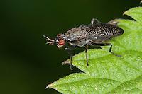 Melierte Schneckenfliege, Coremacera marginata, Snail killing fly, Snail-killing Fly, Hornfliege, Netzfliegen, Hornfliegen, Netzfliege, Sciomyzidae, Marsh flies