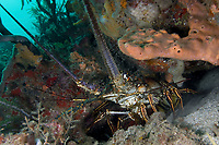 Spiny Lobster, Bequia, Caribbean