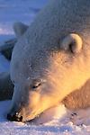 Portrait of a polar bear sleeping, Canada.