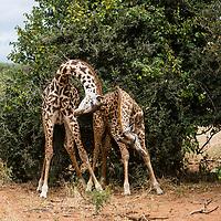 Tanzania.  Maasai Giraffes Fighting.  Tarangire National Park.