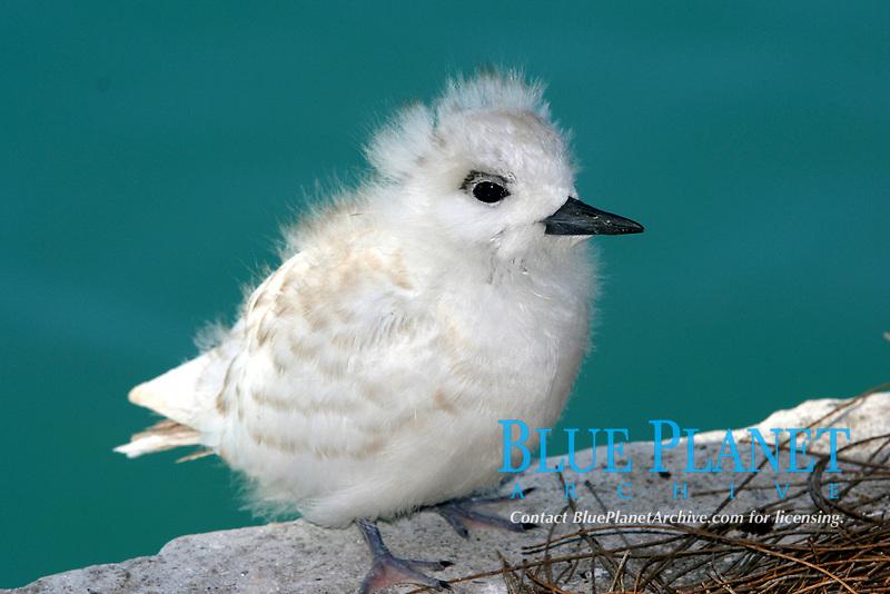 fairy tern, Sterna nereis, manu-o-Ku, chick, Midway Atoll, Papahanaumokuakea Marine National Monument, Northwestern Hawaiian Islands, Hawaii, USA, Pacific Ocean