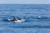 Short-finned pilot whale, Globicephala macrorhynchus,  surfacing. Out of Mirissa, Sri Lanka, Indian Ocean