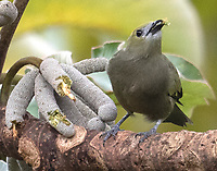 Palm tanager eating fruit