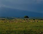 A herd of impalas graze on the plains of Masai Mara, Kenya.