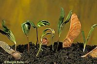 MP02-012z  Sugar Maple -  seedlings, seed coats - Acer saccharum