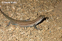 0615-1004  Tiger Whiptail Lizard, Aspidoscelis tigris  © David Kuhn/Dwight Kuhn Photography