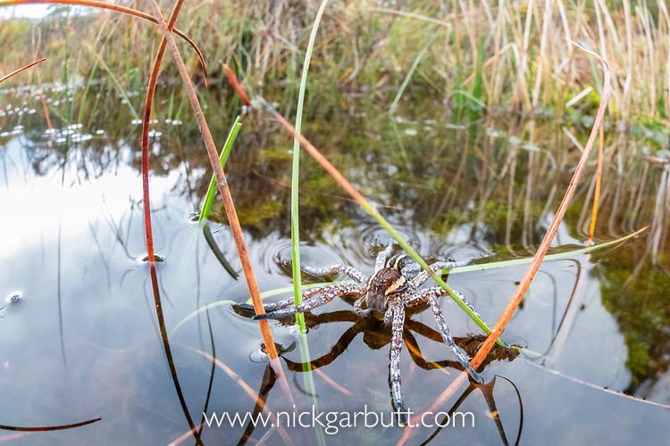 Female raft spider (Dolomedes fimbriatus) on small moorland pond. Caledonian pine forest, Glen Strathfarrar, Scottish Highlands. Scotland. October.
