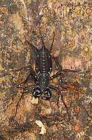 An unidentified scorpion photographed during a night walk in Borneo.