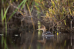 Hooded merganser swimming in a northern Wisconsin wetland