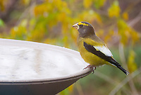 Evening Grosbeak finch bird on bird bath