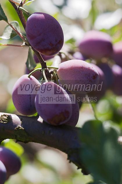Europe/France/Midi-Pyrénées/32/Gers/Pergain-Taillac:  Pruneaux d'agen sur l'arbre