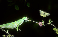 CH20-001z  African Chameleon - shooting out tongue and missing prey - Chameleo senegalensis