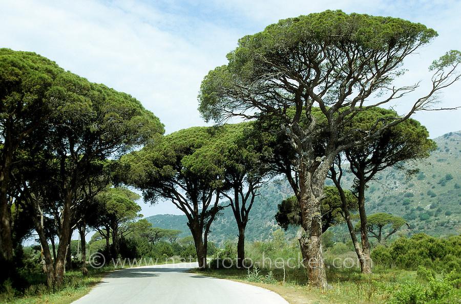 Pinie, Schirmkiefer, Schirm-Kiefer, Kiefer, Pinus pinea, Stone Pine, Umbrella Pine