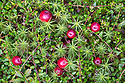 Bog Cranberry (Vaccinium oxycoccos) Peak District National Park, Derbyshire, UK. September.