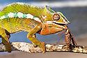 Panther Chameleon {Furcifer pardalis} eating praying mantis {Mantodea}. Masoala Peninsula National Park, north east Madagascar.