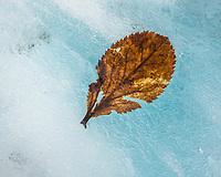 Leave on blue glacial ice, Fox Glacier, Westland Tai Poutini National Park, UNESCO World Heritage Area,  West Coast, New Zealand, NZ
