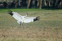 Whooping Crane landing.
