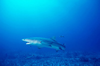 lemon shark, Negaprion brevirostris, captured on longline, Bahamas, Caribbean Sea, Atlantic Ocean