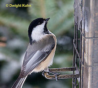 1J04-520z   Black-capped Chickadee, at bird feeder in winter,  Poecile atricapillus or Parus atricapillus