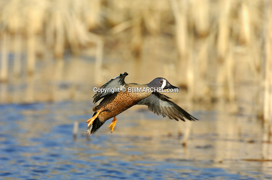 00315-061.18 Blue-winged Teal Duck drake in flight over the water of a cattail marsh.  Action, hunt, swamp, wetland.  H3R1