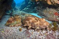 Gulf wobbegong or banded wobbegong, Orectolobus halei, breathing through slit-style spiracle while resting, North Stradbroke Island, Brisbane, Queensland, Australia, South Pacific Ocean
