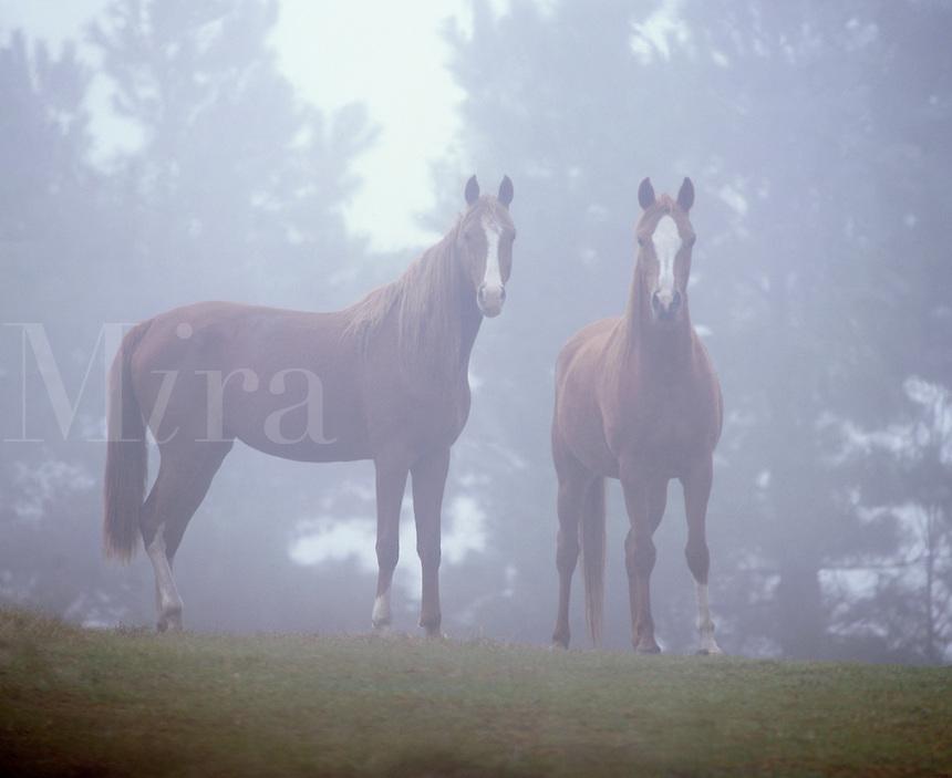 Arabian Horse mares standing in morning mist.