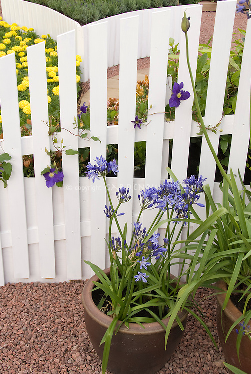 Agapanthus in pots in front of white picket fence with clematis vine, with yellow marigolds behind. summer bulbs in planter containers