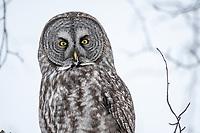 Great Gray Owl, Southcentral Alaska.