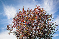 A tree covered in a mix of autumn red yellow and still green leaves against a blue sky streaked with clouds.
