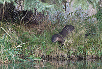 We were lucky to spend some time with this lone otter at Schwabacher Landing.