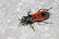 Raubwanze, Peirates hybridus, Assassin Bug, Raubwanzen, Rediviidae, Assassin Bugs