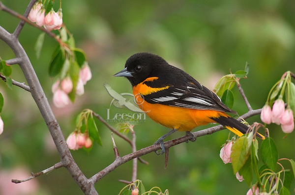 Male Northern Oriole or Baltimore Oriole (Icterus galbula). Great Lakes Region. Spring.