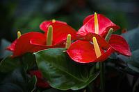 Red Anthurium Laceleaf Plant