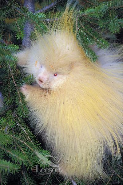 PORCUPINE - albino..Autumn. Rocky Mountains..(Erethizon dorsatum).