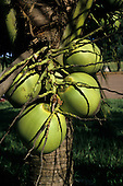 Brazil. Coconuts growing on a coconut palm tree (Cocos nucifera).