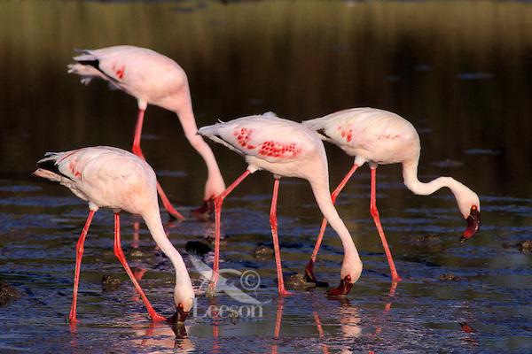 Lesser flamingoes (Phoeniconaias minor), Africa